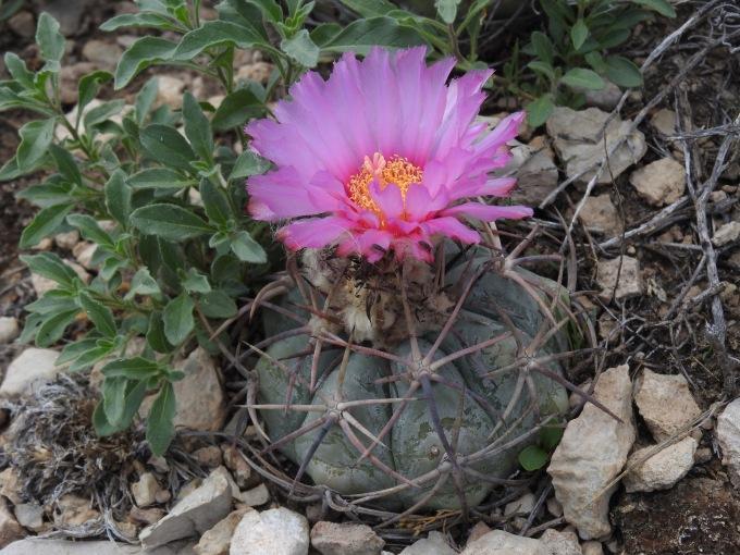 Echinocactus texensis, Crane Co, TX