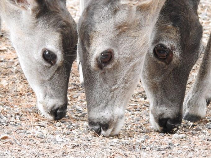 White-tailed Deer, Cave Creek Ranch, Portal, AZ