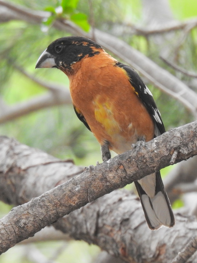 Black-headed Grosbeak, Cave Creek Ranch, Portal, AZ
