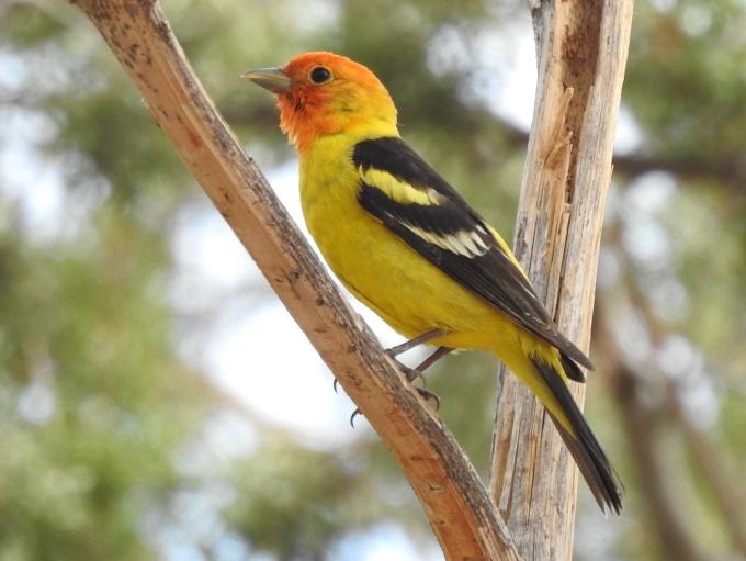 Western Tanager, Portal, AZ