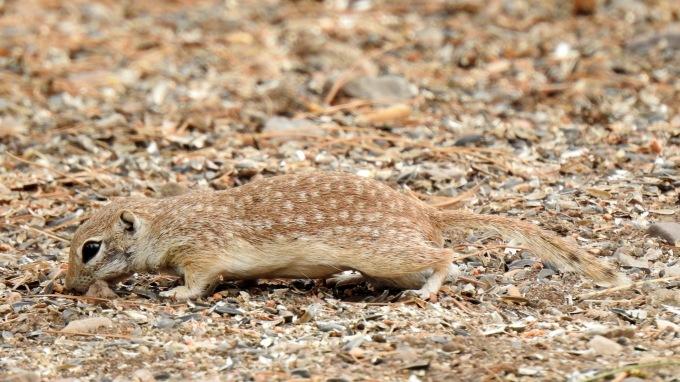 Spotted Ground-Squirrel, Portal, AZ