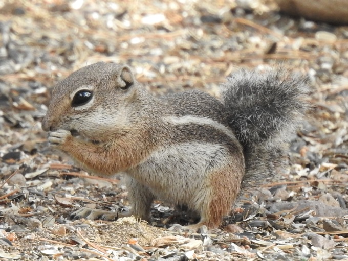 Harris' Antelope Squirrel, Portal, AZ