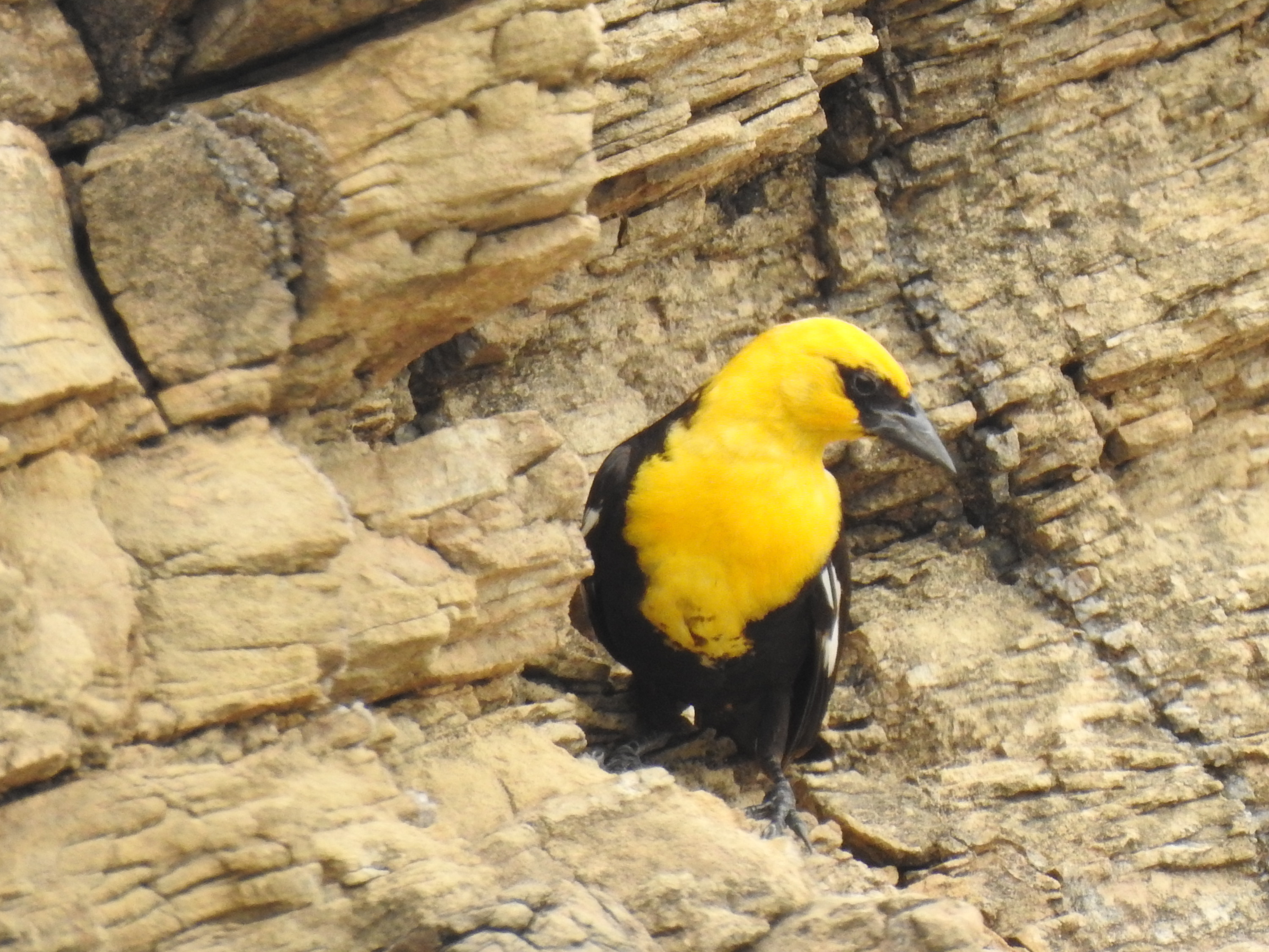 Yellow-headed Blackbird, River Road, Big Bend NP, TX