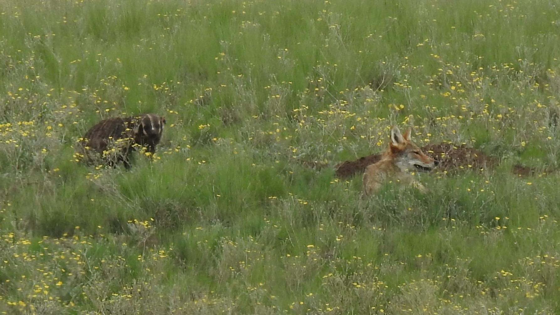 Badger and Coyote hunting together, Valles Caldera Nat. Pres., NM
