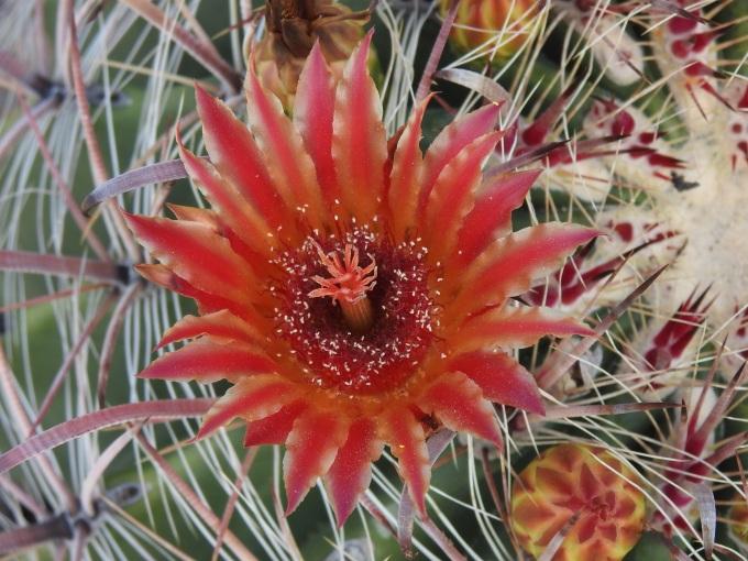 Ferocactus wislizeni, Tucson Mountain Park, Tucson, AZ