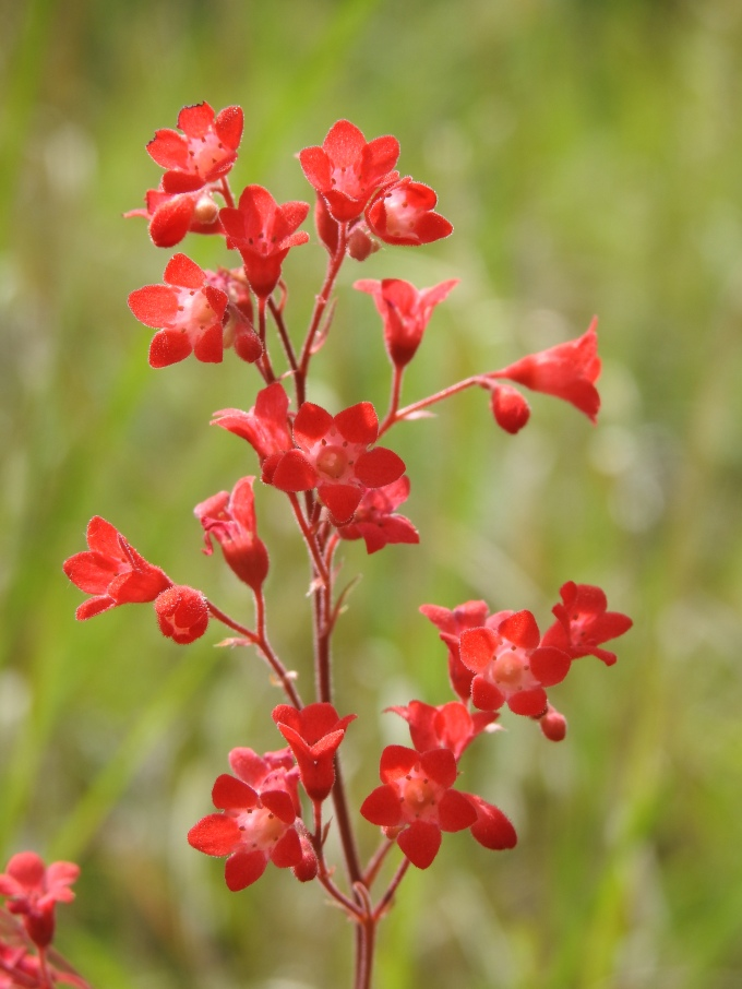 Heuchera sanguinea sanguinea, Madera Canyon, Coronado NF, AZ