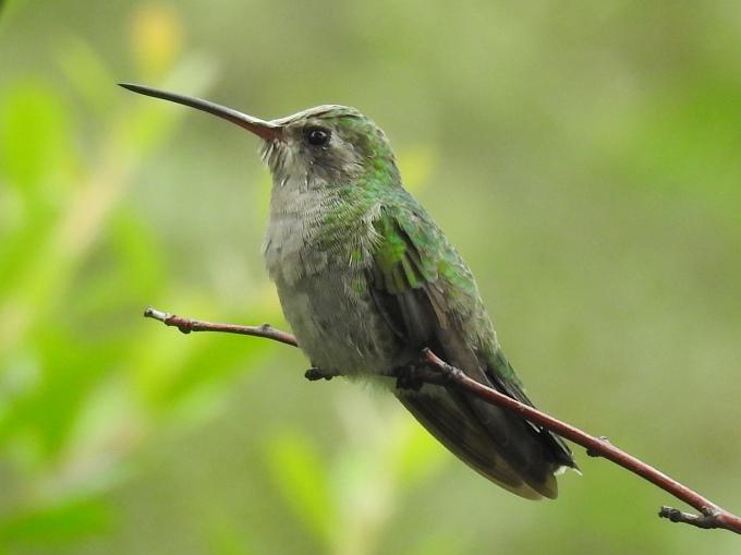 Broad-billed Hummingbird, female, Madera Canyon, Coronado NF, AZ