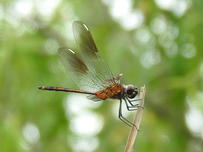 Four-spotted Pennant, female, Pena Blanca Lake, off Ruby Road, AZ