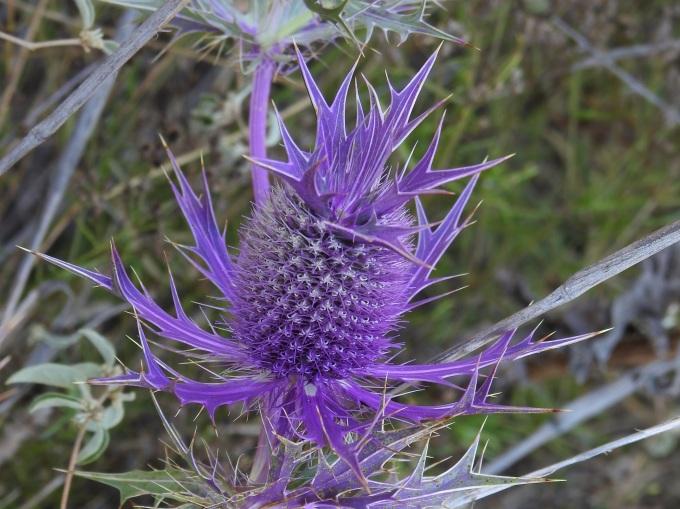 Eryngium leavenworthii, Tandy Hills Natural Area, Forth Worth, TX